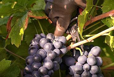 Harvesting in the heart of the Luberon